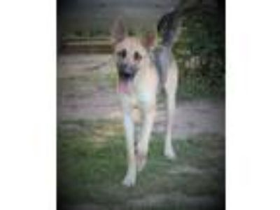 Adopt Athena a German Shepherd Dog