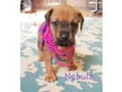 Adopt Daffodil's Puppies a Brown/Chocolate Boxer / Beagle / Mixed dog in