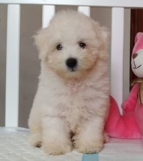Bichon Frise PUPPY FOR SALE ADN-101009 - Abbott