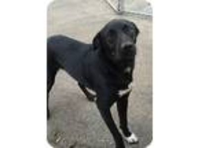 Adopt Partner a Black - with White Labrador Retriever / Mixed dog in Key