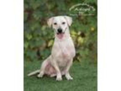 Adopt Sam FOSTER NEEDED a White Retriever (Unknown Type) / Labrador Retriever /