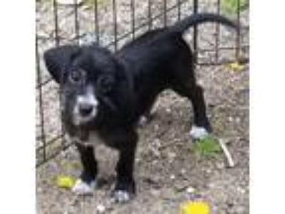 Adopt Shaggy a Black - with White Dachshund / Terrier (Unknown Type