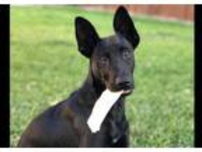 Adopt Mischief a Black German Shepherd Dog / Labrador Retriever / Mixed dog in