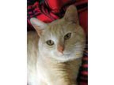 Adopt General Custer a Tan or Fawn Domestic Shorthair / Domestic Shorthair /