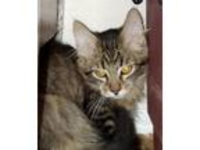 Adopt Cupcake a Domestic Shorthair / Mixed cat in Salt Lake City, UT (22852382)
