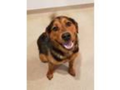 Adopt Marty a Rottweiler, Chow Chow