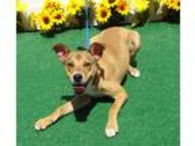 Adopt HELENA a Brown/Chocolate - with White Labrador Retriever / Mixed dog in