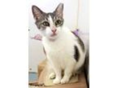 Adopt Francis a Domestic Short Hair