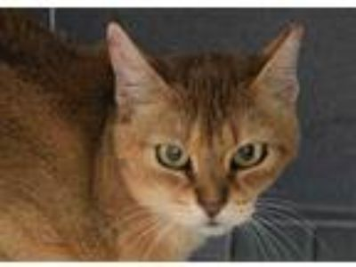Adopt KIM CHEE a Brown Tabby Abyssinian / Mixed (short coat) cat in Loveland