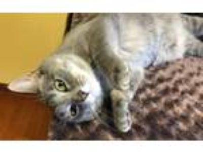 Adopt MEET AT PET SUPPLIES PLUS: Aria **KITTEN** a Tabby