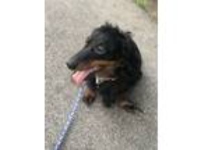 Adopt Duke of Earl a Black - with Tan, Yellow or Fawn Dachshund / Mixed dog in