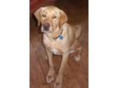 Adopt Ace (Great Dog) a Yellow Labrador Retriever