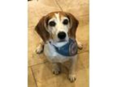 Adopt Dodger a Tricolor (Tan/Brown & Black & White) Beagle / Mixed dog in West