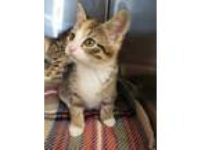 Adopt Delilah a Orange or Red Domestic Shorthair / Domestic Shorthair / Mixed