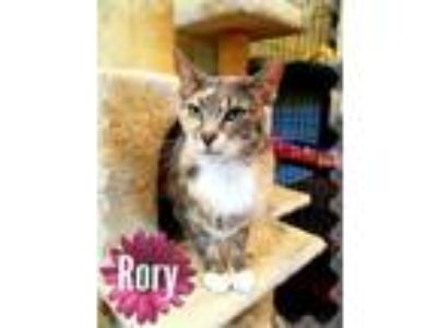 Adopt Rory a Domestic Short Hair