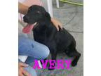 Adopt Avery a Black Labrador Retriever