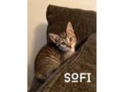 Adopt Sofi a Spotted Tabby/Leopard Spotted Domestic Shorthair (short coat) cat