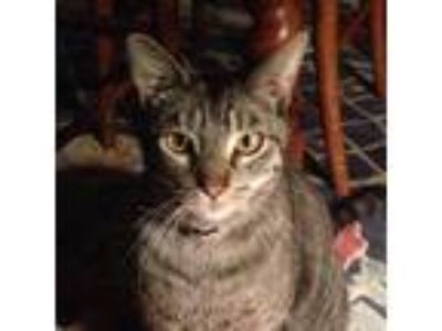 Adopt Peep a Brown Tabby Domestic Shorthair / Mixed cat in Springfield