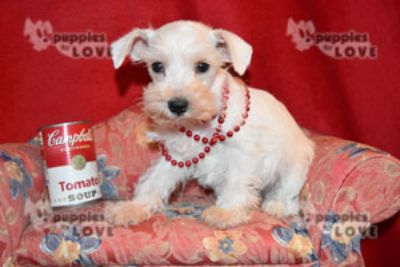 Schnauzer (Miniature) PUPPY FOR SALE ADN-87471 - TOY AKC  FULL REGISTRATION