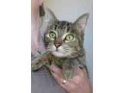 Adopt Anahita a Domestic Short Hair