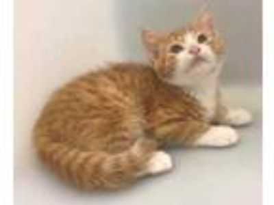 Adopt Petals a Orange or Red Domestic Shorthair / Domestic Shorthair / Mixed cat