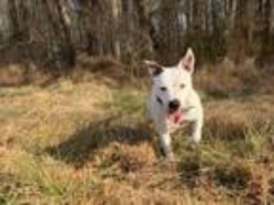 Adopt Twinkle Toes a Pit Bull Terrier