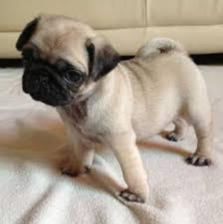 Houma Pug puppies well house trained for adoption