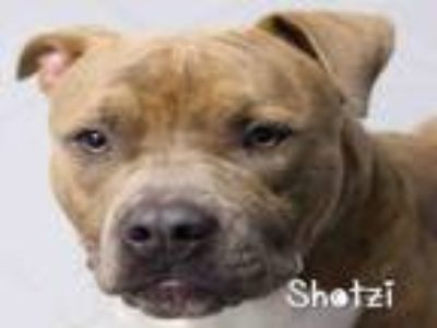 Adopt SHOTZI a Pit Bull Terrier, Mixed Breed