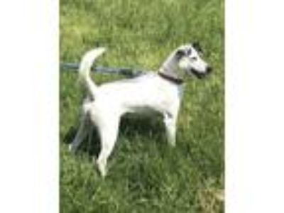 Adopt Athena a Mixed Breed, Jack Russell Terrier