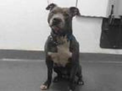 Adopt 19-23831 a Pit Bull Terrier