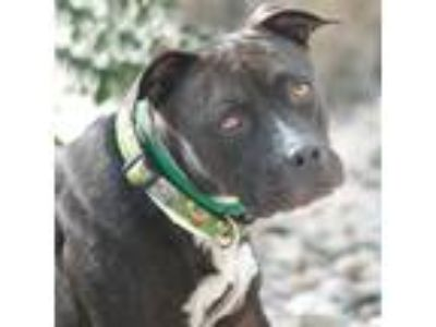 Adopt Kirra a American Pit Bull Terrier / Mixed dog in Golden, CO (25653046)