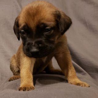 Cane Corso-Mastiff Mix PUPPY FOR SALE ADN-102316 - Mastiff Puppies For Sale