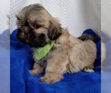 Lhasa Apso PUPPY FOR SALE ADN-131032 - AKC Lhasa Apso Puppies for sale 2M