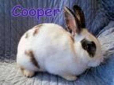 Adopt Cooper a English Spot, Bunny Rabbit