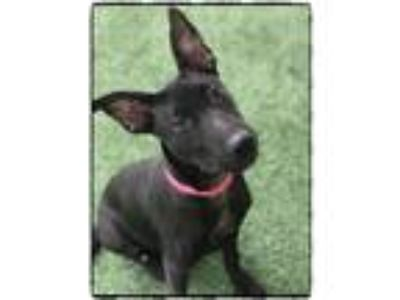 Adopt SPIRIT a Black - with White Pit Bull Terrier / Mixed dog in Marietta