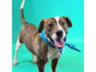 Adopt Steven a Brindle Labrador Retriever / American Pit Bull Terrier / Mixed
