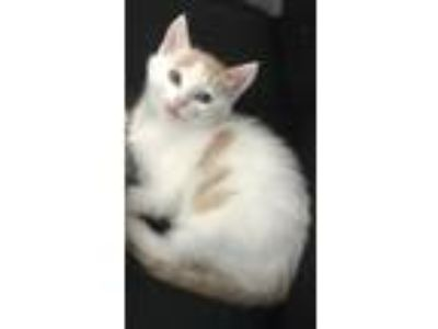 Adopt Cotton a White (Mostly) Domestic Shorthair (short coat) cat in Canoga