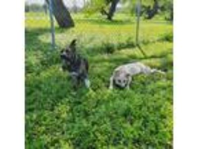 Adopt Janet Jackson a Brindle Dutch Shepherd / Mixed dog in San Antonio