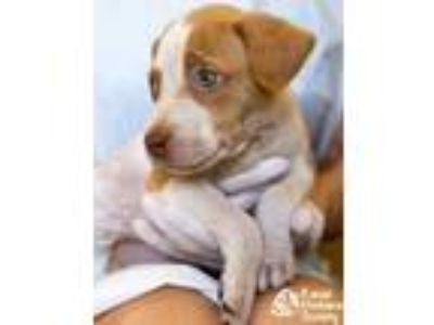 Adopt Apple Sauce a White Terrier (Unknown Type, Small) / Mixed dog in Lihue
