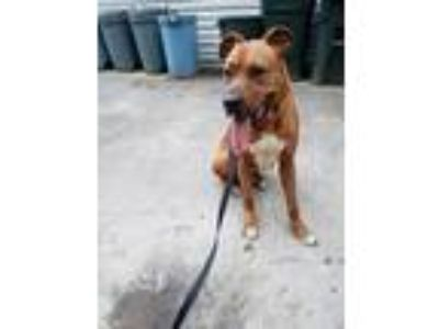 Adopt Rocco a Brown/Chocolate - with White Mastiff / Boxer dog in Ball Ground