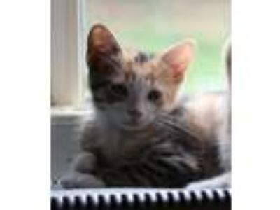 Adopt Speckles - Avail NOW - CT a Domestic Short Hair