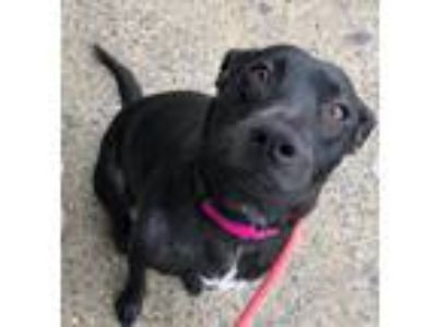 Adopt Infinity a Black - with White Labrador Retriever / Mixed dog in Brooklyn