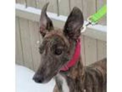 Adopt BA QUEEN LETEICH a Greyhound
