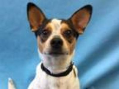 Adopt Dallas a Black Jack Russell Terrier / Corgi / Mixed dog in Golden Valley
