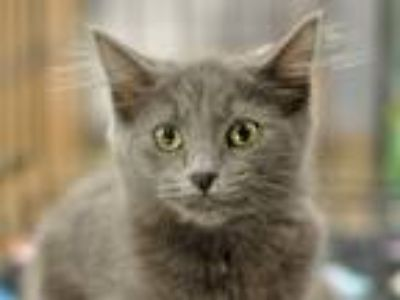 Adopt Gaia a Gray or Blue Domestic Longhair (long coat) cat in Great Falls