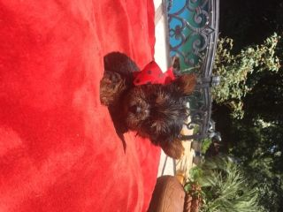 Yorkshire Terrier PUPPY FOR SALE ADN-86918 - BEAUTIFUL AND ADORABLE TEA CUP YORKIES