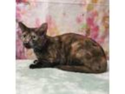 Adopt ARIA a Domestic Short Hair