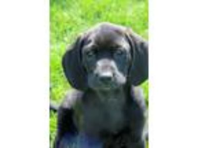 Adopt Maley a Black Labrador Retriever
