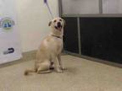 Adopt MAX a Labrador Retriever, Mixed Breed