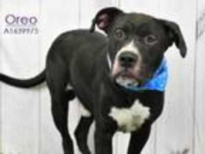 Adopt A1639975 a Staffordshire Bull Terrier, Mixed Breed